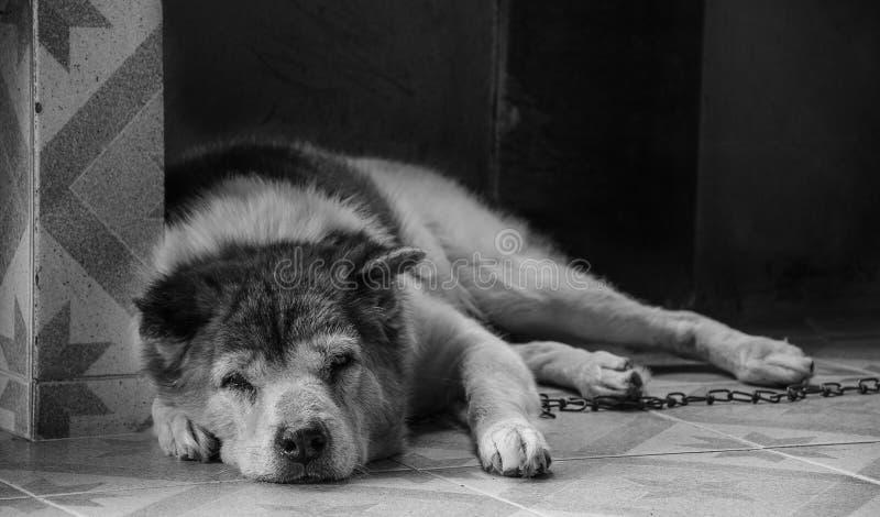 Thai Bangkaew Dog royalty free stock image