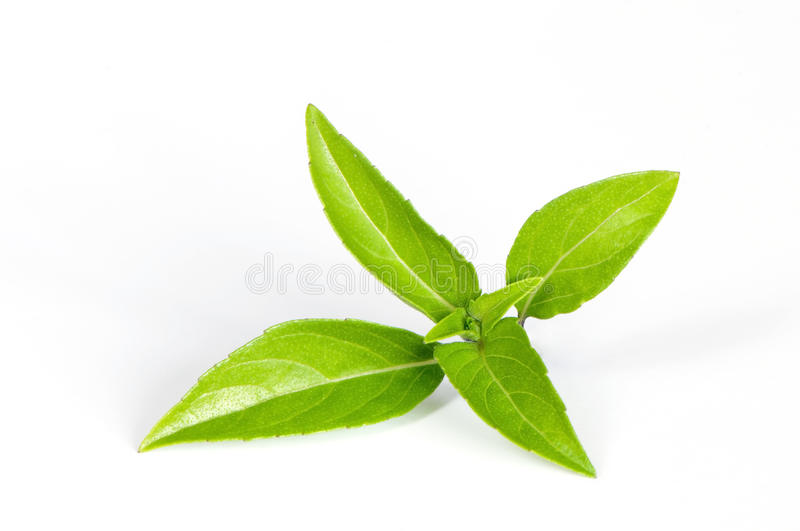 Thai basil. Leaves on a white background royalty free stock image