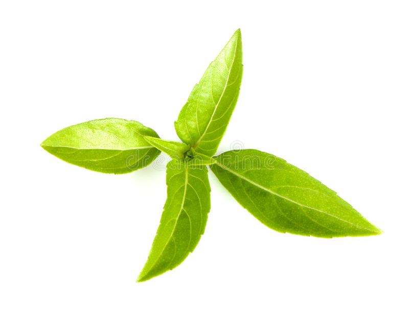 Thai basil. Leaves, view from above royalty free stock image