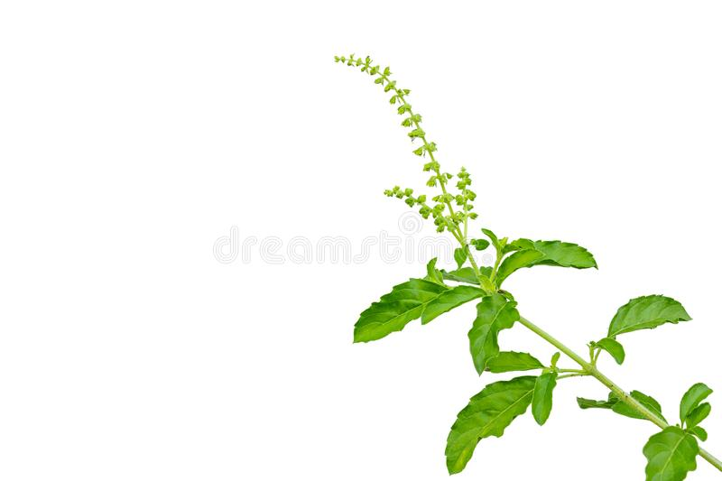 Thai Basil. Is a herb that has many properties to help relieve colic royalty free stock image