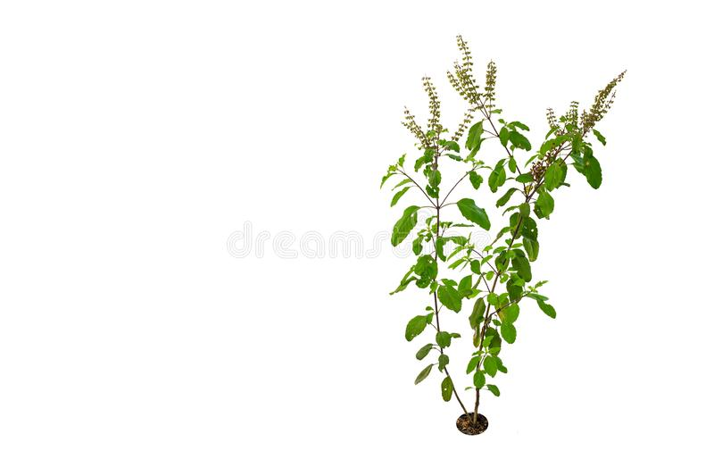 Thai Basil. Is a herb that has many properties to help relieve colic royalty free stock photography