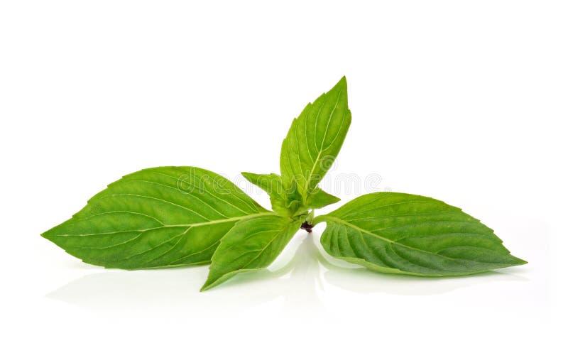 Thai basil leaf on white background. Thai basil leaf on a white background stock photo