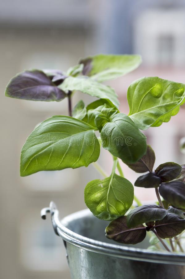 Thai basil leaves, common basil healthy herb. In the pot, tasty aromatic food ingredient stock photography