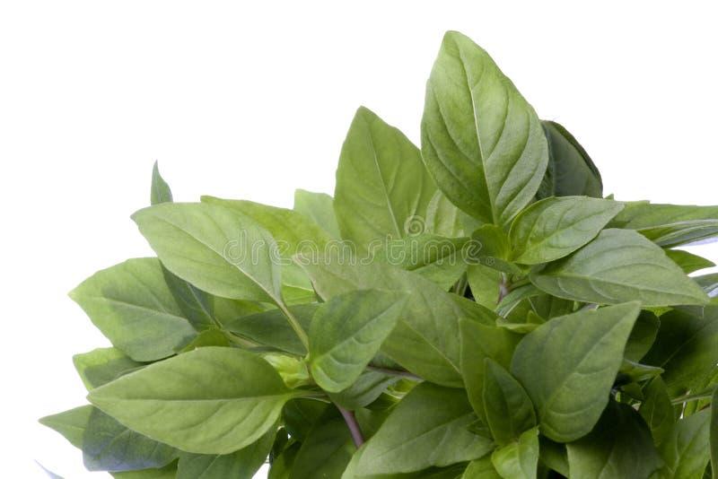 Thai Basil Leaves Isolated. Isolated image of Thai Basil leaves royalty free stock images