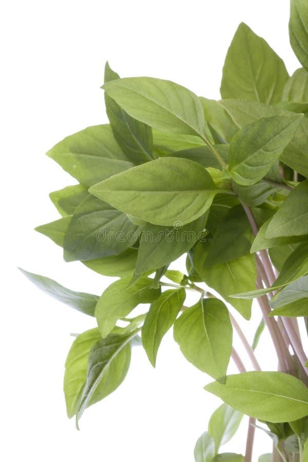 Thai Basil Leaves Isolated. Isolated image of Thai Basil leaves stock photo