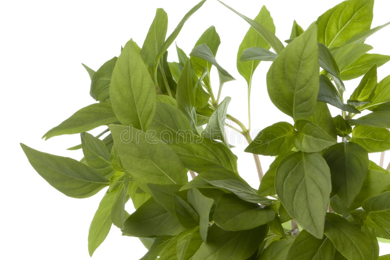 Thai Basil Leaves Isolated. Isolated image of Thai Basil leaves stock images
