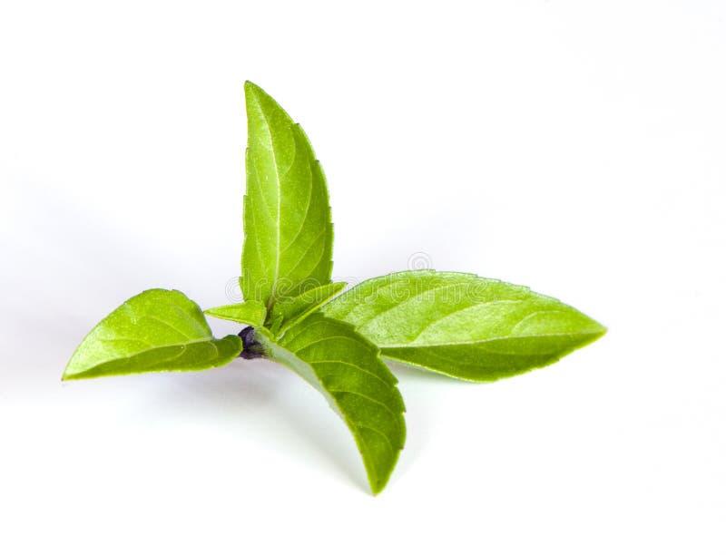 Thai basil. Leaves on the white background stock image