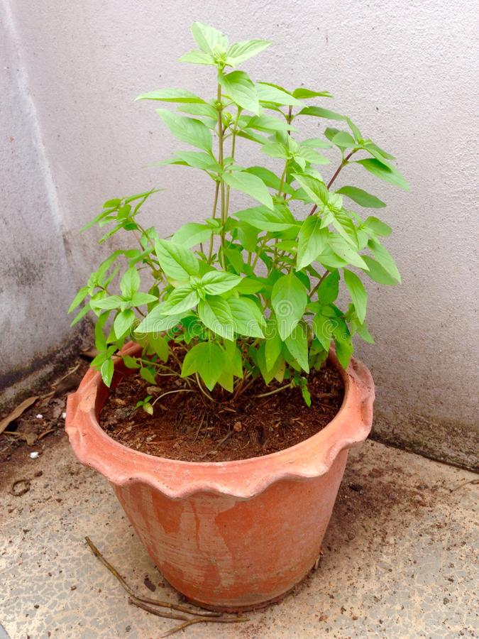 Thai basil. In pot on classic wall stock images