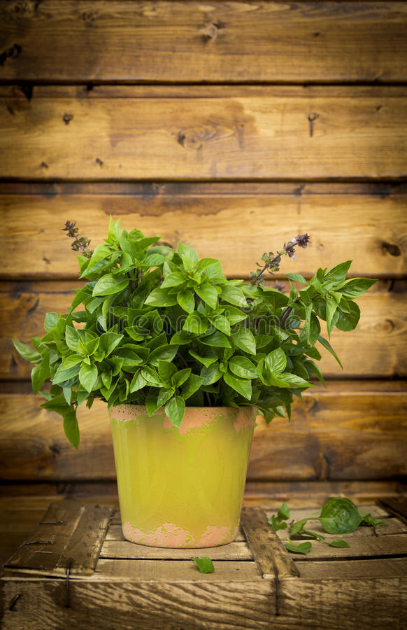 Thai Basil in pot on old wooden box. On garden table stock images
