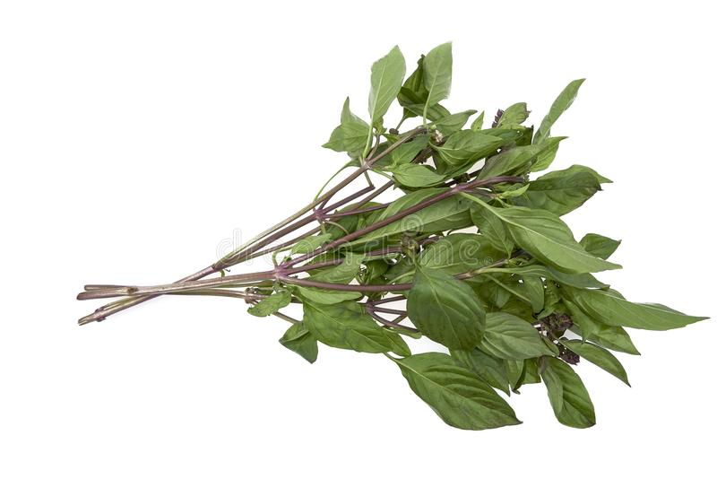 Thai Basil on White Isolated Background. Green sue Vietnamese herb Thailand vegetable stock images