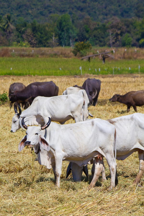 Thai beef cow. Cattle in the paddy royalty free stock photos