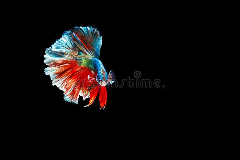 Thai Betta fish. Beautiful blue and red Male Thai betta fish isolated on black background stock image