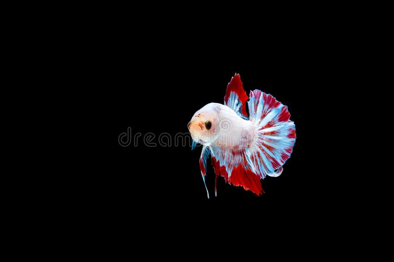 Thai Betta fish. Thai betta colour red and white with isolated black background royalty free stock photography