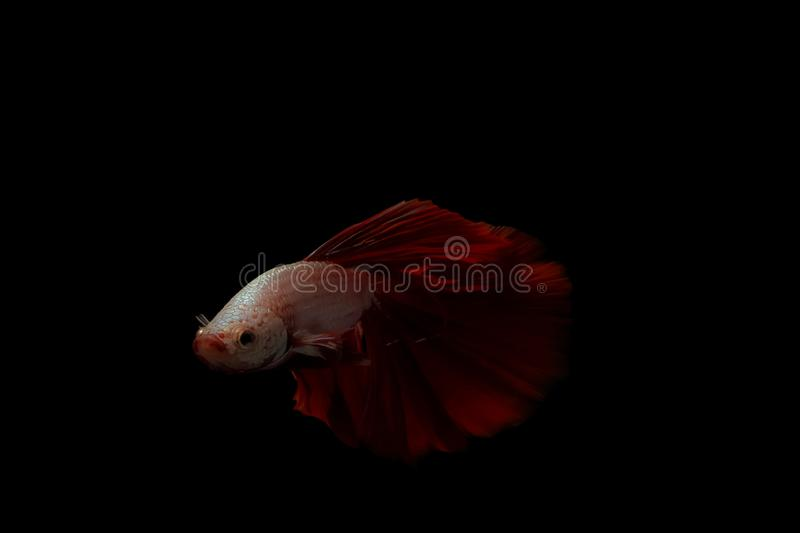 Thai betta fish on red and white body on a black background stock photo