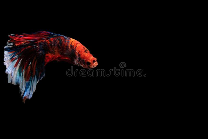 Thai betta fish on red and white body on a black background. Competition, fight, macro, abstract, closeup, swim, swimming, halfmoon, freshwater, art, hobby stock image