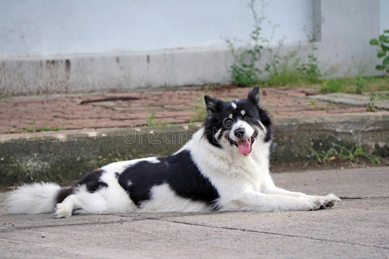 Thai black and white stray dog laying down on the road floor. royalty free stock photography