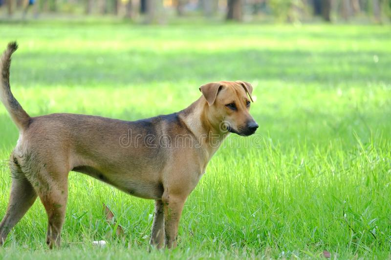 A Thai brown dog standing on the green grass field royalty free stock image