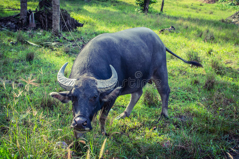 Thai Buffalo. Grazing in the Koh-Samui island royalty free stock photography
