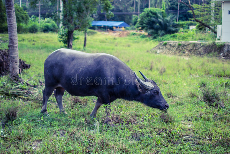 Thai Buffalo. Grazing in the Koh-Samui island royalty free stock photography
