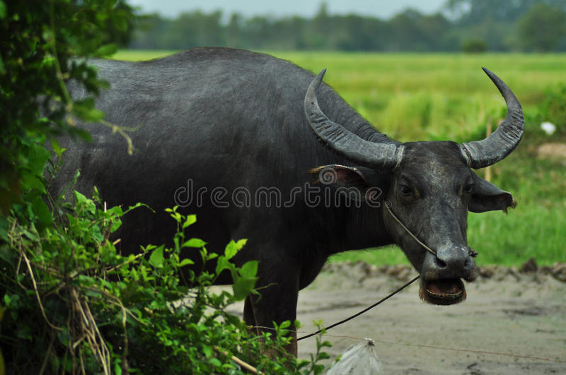 thai buffel royaltyfria bilder