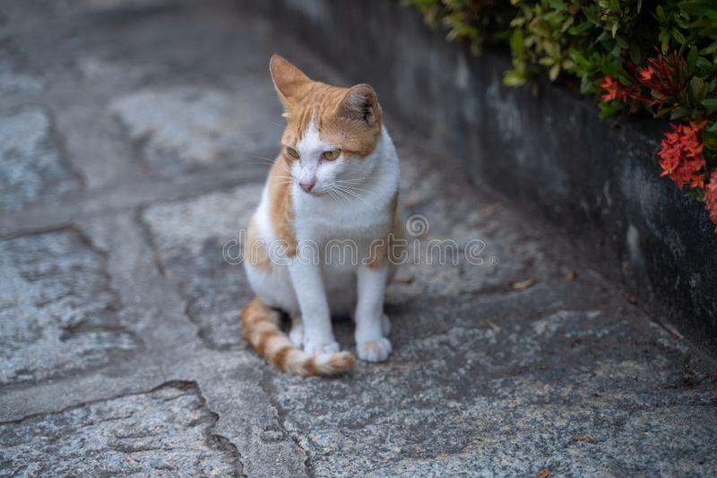 Thai cat stock photography