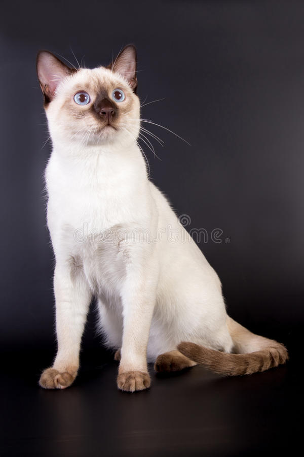 Thai cat on a black background stock photography