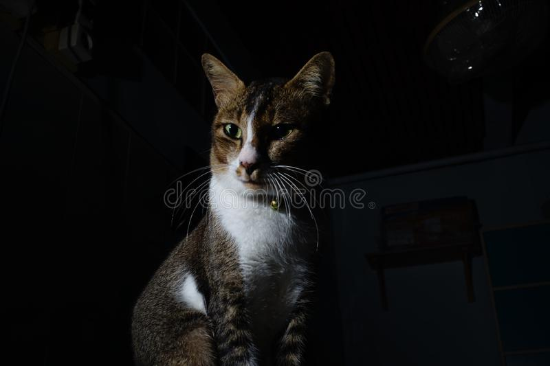 The thai cat flop and looking. The thai cat flop in a dark room and looking royalty free stock photo