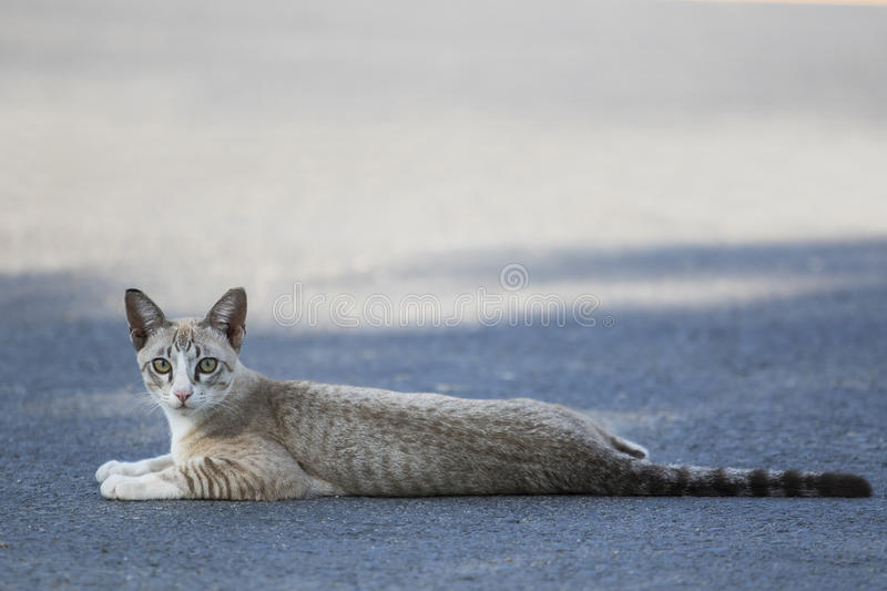 Thai cat lying on traffic road and looking to camera with eyes c royalty free stock photo
