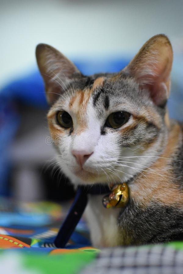 Thai cat is sitting, crouching, still, calm. In order to take a picture of a transaction royalty free stock image