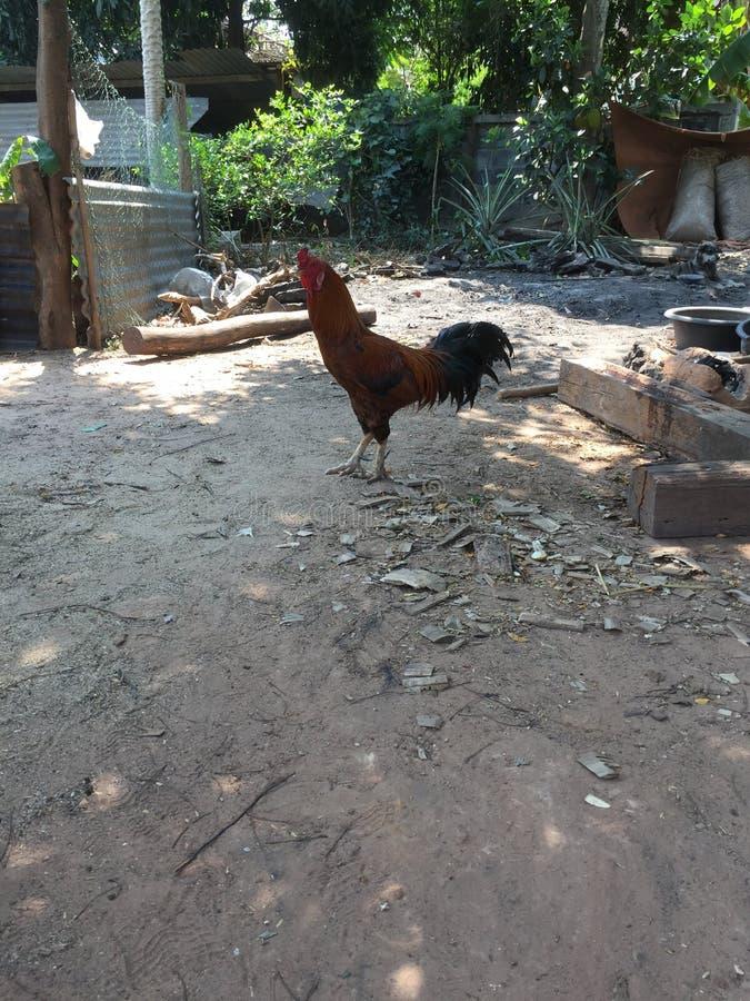 Thai chicken on floor background stock images