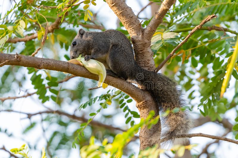 Thai common squirrel gnawing the Vegetable hummingbird flower. On a tree stock photo