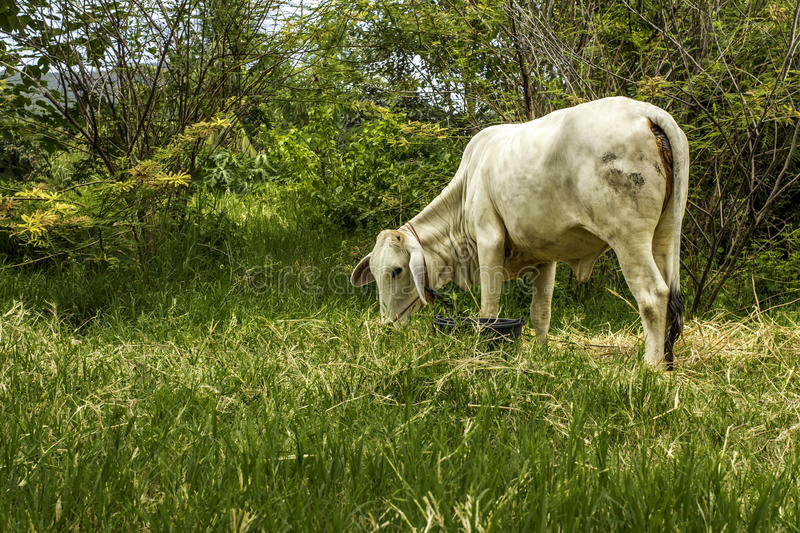 Download Thai cow stock photo. Image of animal, grass, nature - 43777988