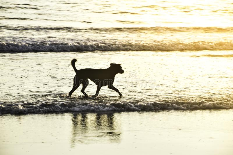 Thai Dog running at sea in the evening. Koh Payam in Thailand adorable alone animal background beach beautiful beauty canine color cute dogs domestic fun happy royalty free stock image