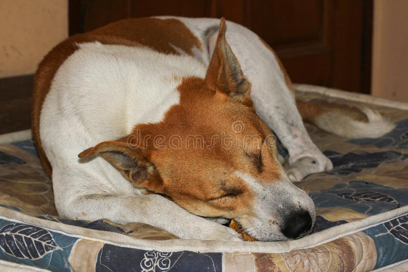 Thai dog white and brown color sleep eatting food look so happy on blanket at home royalty free stock photos