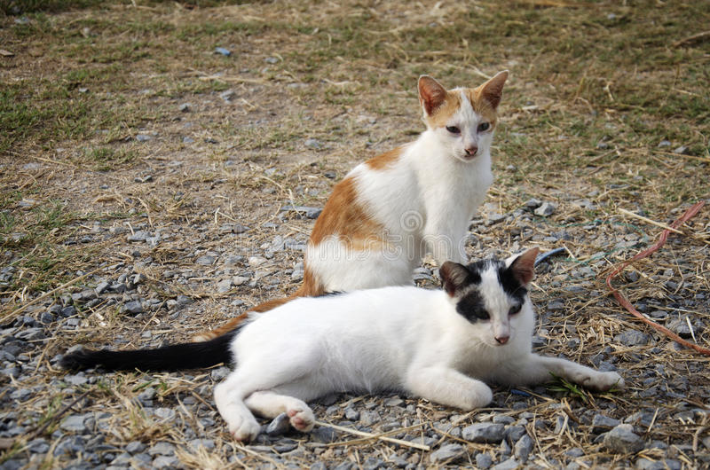 Thai domestic cats. Sitting in garden stock photography
