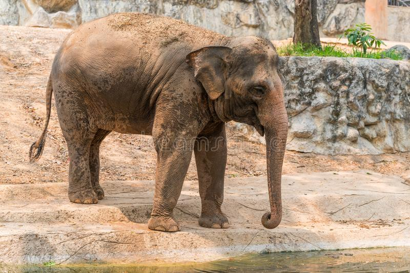 Thai elephant is classed as one of endangered species. The Thai elephant is classed as one of endangered species royalty free stock image