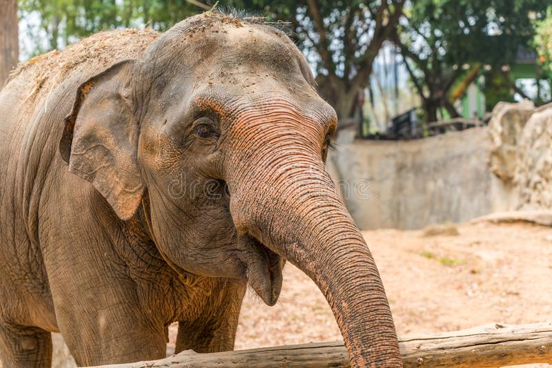 Thai elephant is classed as one of endangered species. The Thai elephant is classed as one of endangered species royalty free stock photos
