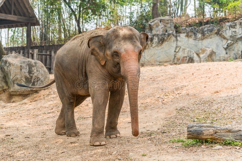 Thai elephant is classed as one of endangered species. The Thai elephant is classed as one of endangered species royalty free stock photo