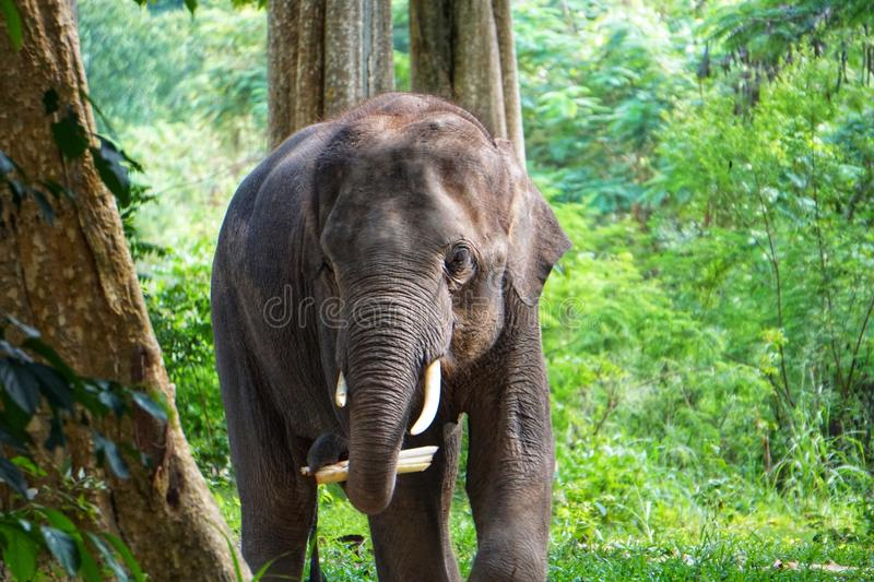 Thai elephant with the forest background. Thai elephants are classed as Indian elephants stock images