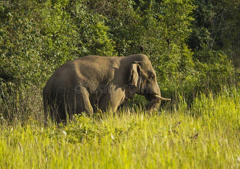 Thai Elephant Stock Photography