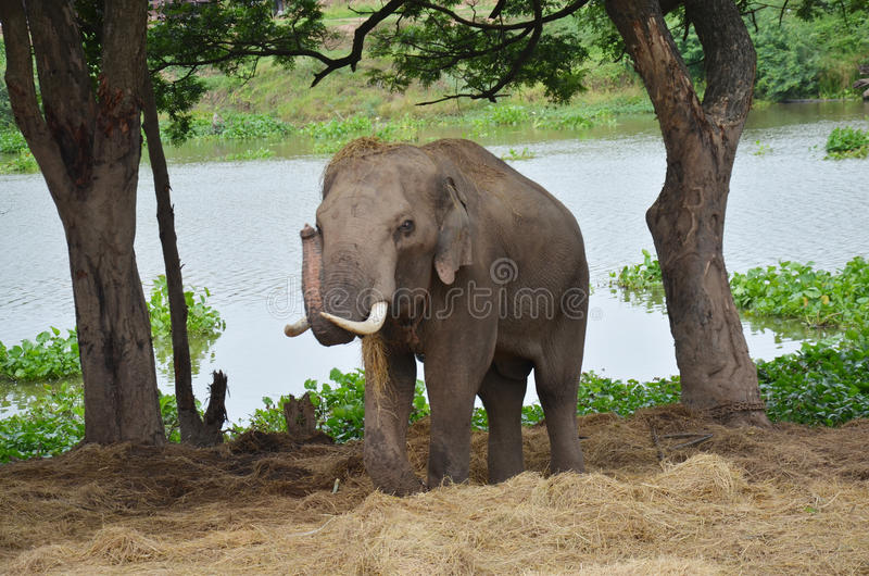 Thai Elephants At Ayutthaya Elephant Camp Thailand Stock Photo