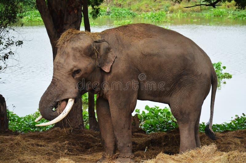 Thai Elephants At Ayutthaya Elephant Camp Thailand Stock Image