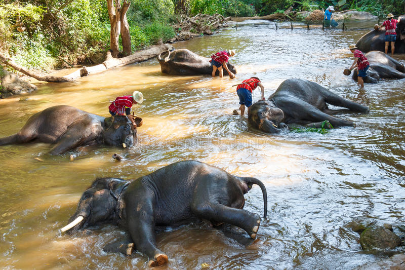 Thai Elephants Taking A Bath With Mahout Editorial Image