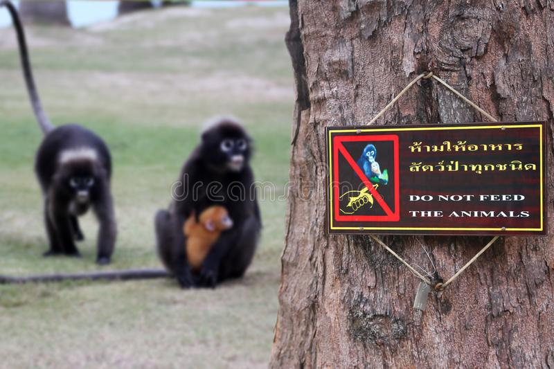 Thai and English languages, Do not feed the animals sign. On the tree with the monkey ,Dusky langur background royalty free stock photo