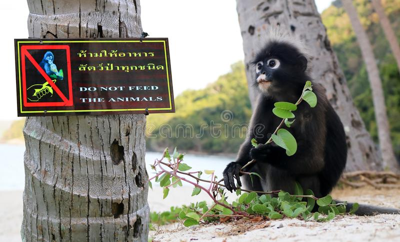 Do not feed the animals sign on the tree with the monkey. Thai and English languages, Do not feed the animals sign on the tree with the monkey ,Dusky langur royalty free stock images