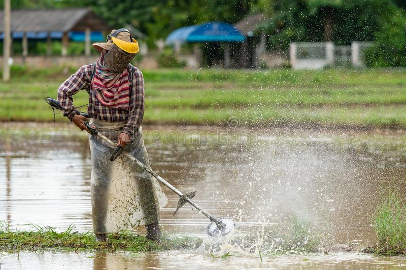 Thai farmer prepare the paddy field for rice seedling transplant royalty free stock images