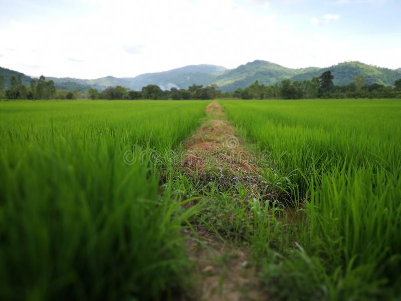 Thai field in nakornnayok farm royalty free stock photos