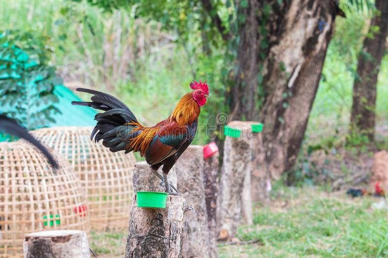 Thai fighting fancy is young and beautiful color hairs and red hood, is pet for show. In farm stock images