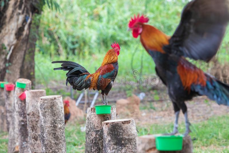 Thai fighting fancy is young and beautiful color hairs and red hood, is pet for show. In farm stock photos