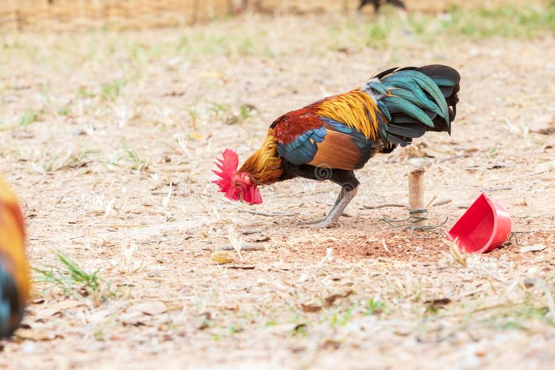 Thai fighting fancy is young and beautiful color hairs and red hood, is pet for show. In farm stock photography